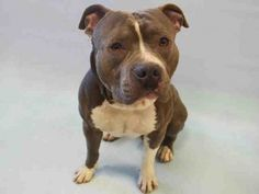 RTO SAFE❤️❤️ 4/9/16 Manhattan Center ERNIS – A1069294 MALE, BLUE / WHITE, AMERICAN STAFF, 1 yr STRAY – STRAY WAIT, NO HOLD Reason STRAY Intake condition EXAM REQ Intake Date 04/03/2016, From NY 10459, DueOut Date04/06/2016 Urgent Pets on Death Row, Inc