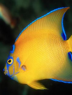 queen angelfish:The queen angelfish (Holacanthus ciliaris) is an angelfish commonly found near reefs in the warmer sections of the western Atlantic Ocean.
