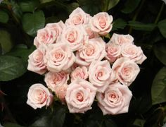 Beautiful, soft pink spray roses will accent the bridal bouquet and centerpieces