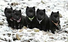 Schipperke puppies - repinning simply because Schip puppies have to be the cutest little devils in the world and they make me happy :)