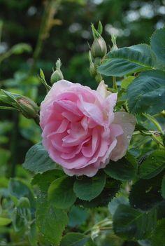 Celestial s'épanouit en grandes fleurs semi- double en coupe rose carné, parfumées. Floraison unique en mai-juin. Arbuste de 1,50 m. vigoureux, au port étalé et au feuillage gris-vert  sain. Alba, aurait été découvert vers 1759 en France.