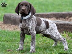 german shorthair pointer puppy | Top 10 Cutest German Shorthaired Pointer Puppies