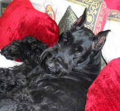 Madison Giant Schnauzer - This is a beauty!  I've heard they have completely different personalities than the miniature Schnauzer....is it true?