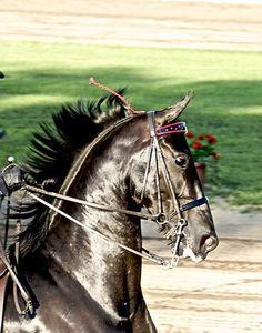 American Saddlebred  AH !!!  My favorite breed.
