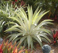 rare agave plants | VERY RARE Joe Hoak Variegated Agave Desmettiana Plant