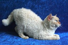 In 1987, a mutant kitten was born in Montana with hair like a poodle. Named Miss DePesto, this kitten grew up and birthed curly kittens of her own. As the curly cat family tree grew, Miss DePesto's descendants eventually became recognized as a new breed: the Selkirk Re