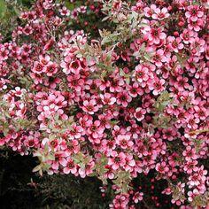 Leptospermum scoparium 'Kiwi'