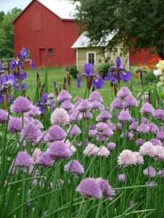 Chives and iris----Emily's garden in New York, Day 1 Country Charm, Country Life, Country Living, Gardening Magazines, Fine Gardening, Farm Barn, Country Scenes, Farms Living, Down On The Farm