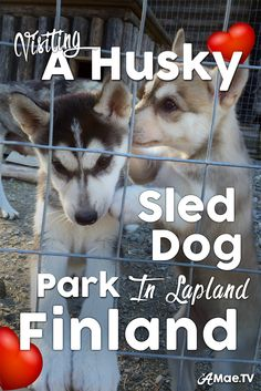 Come along for one of the best things to do in Lapland Finland. Visiting Husky Puppies at a Husky Sled Dog Park.