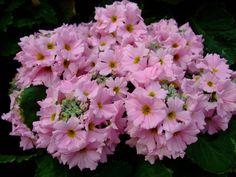 https://flic.kr/p/RAKvMX | Primula obconica | www.youtube.com/user/yewmchan/videos