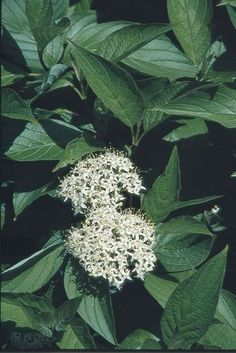 Cornus racemosa--gray Dogwood - the birds brought me this one, I didn't have to plant it.