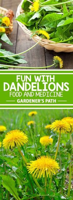 Although most folks dismiss it as a weed, dandelions are some of the tastiest and nutritious herbs growing wild. Super simple to collect and use, this common legume has many medicinal uses and has been used historically to cure and treat all sorts of ailm Dandelion Uses, Dandelion Recipes, Dandelion Plant, Healing Herbs, Medicinal Plants, Natural Healing, Edible Plants, Edible Garden, Organic Gardening