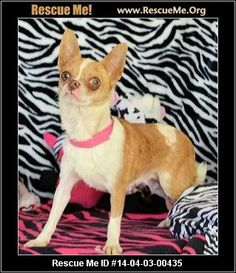 Animal ID: 033014-50Bronwyn (female)  Chihuahua    Age: Puppy  Compatibility:	 Good with Most Dogs, Good with Adults (Not Kids)  Personality:	 Low Energy, Average Temperament  Health:	 Spayed, Vaccinations Current       If you are interested in me, please visit my website, www.breederadoptions.org, go to the Available Dogs page, read my Policies and Procedures, complete Adoption Form for me, and my rescuers will contact you promptly. HI! My name is Bronwyn and I am a beautiful, sweet, little…