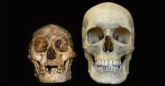 Homo floresiensis (or 'the hobbit') and a modern human skull side-by-side.
