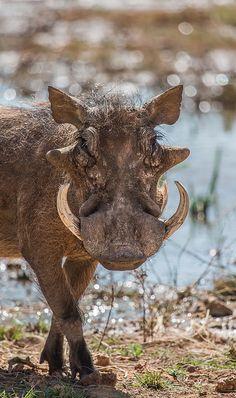 Warthog . Namibia