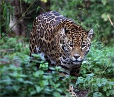 Jaguar Cat Of Prey Walking