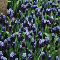 Blue Grape Hyacinth Muscari Latifolium - 20 flower bulbs