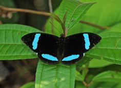 Nessaea hewitsoni, Blue-banded Olivewing, 2013 Oct 22, El Capricho, Napo, Ecuador, JGlassberg - 1283
