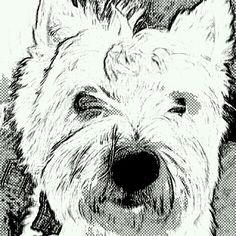 Westie drawing