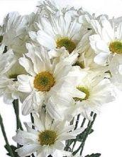 White Daisy Spray Mums, #chrysanthemums