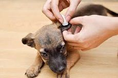 Ever wonder how to easily clean dog ears? Here& our simple guide to cleaning your dog& ears with hydrogen peroxide!