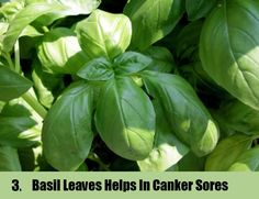 Basil Leaves Helps In Canker Sores