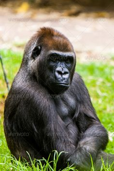 Realistic Graphic DOWNLOAD (.ai, .psd) :: http://jquery.re/pinterest-itmid-1006918493i.html ... Pensive Gorilla ...  adult, animal, ape, expression, face, gorilla, large, male, mammal, pensive, portrait, powerful, primate, strong, wild, wildlife  ... Realistic Photo Graphic Print Obejct Business Web Elements Illustration Design Templates ... DOWNLOAD :: http://jquery.re/pinterest-itmid-1006918493i.html
