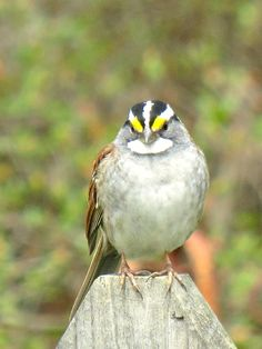 White Throated Sparrow: 18 April 2014, our backyard, Falls Church, VA, 1:00 p.m., 52 degrees, partly sunny, calm