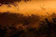 Stunning Red Deer in Richmond Park – Fubiz Media
