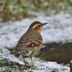 Female Varied Thrush in the Snow. #VariedThrush