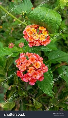 Find Red Pink Yellow Flowers Summer Green stock images in HD and millions of other royalty-free stock photos, illustrations and vectors in the Shutterstock collection. Yellow Flowers, Pink Yellow, Red And Pink, Green Backgrounds, Flora, Photo Editing, Royalty Free Stock Photos, Illustration, Plants