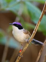 The Purple-crowned Fairy-wren is a specialist of dense riparian vegetation in northern Australia. Small Birds, Little Birds, Colorful Birds, Pet Birds, Birds 2, Wild Birds, Purple Bird, Purple Garden, Bright Purple