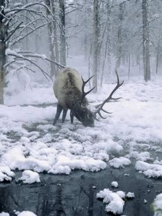 Rocky Mountain Elk... they have a very wide range and may be found nearly everywhere in the US and Western Canada. This is due to transplanting to isolated pockets of their former ranges. Wonderful, isn't it !?