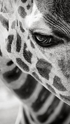 Giraffe close up.this is honestly the sickest picture I've ever seen of a giraffe!really captures the moment! Beautiful Creatures, Animals Beautiful, Beautiful Eyes, Hello Beautiful, Pretty Eyes, Beautiful Pictures, Beautiful Eyelashes, Pretty Baby, Cute Baby Animals