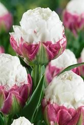 Tulip Ice Cream- Bulbs
