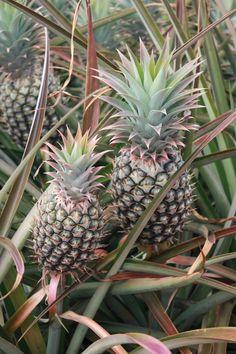 Maui Pineapple Tours, Макаво: просмотрите отзывы (716 шт.), статьи и 209 фото Maui Pineapple Tours на сайте TripAdvisor.