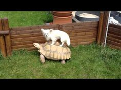 Little White Dog Riding A Tortoise