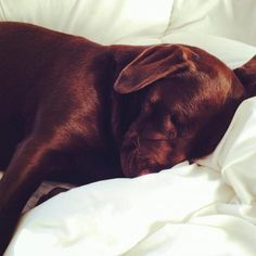 Bedtime for Olive. #chocolatelab