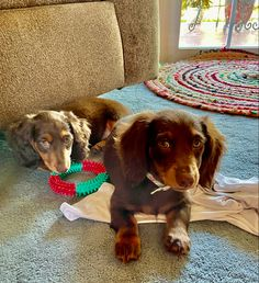 3 month old Coco & Cloe Small Puppies For Sale, 3 Month Olds, Sisters, Dogs, Animals, Animales, Animaux, Pet Dogs, Doggies