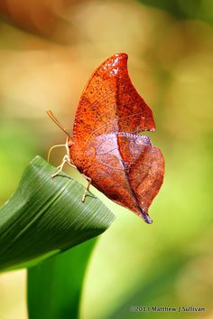 Leaf butterfly.