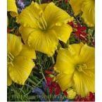 Daylily ALPHA CENTAURI (25) plants