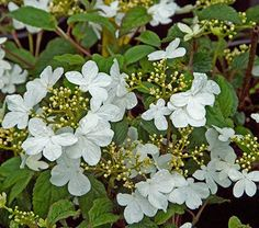 "The Doublefile Viburnum, ""Summer Snowflake"", is the showiest of the clan, lining its long, spreading branches with pure white blooms from summer through fall. 6-8' tall x 8-10' wide"