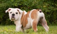 13 Dog Breeds Ideal for Small Space Living