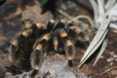Kleurplaten Vogelspinnen.46 Beste Afbeeldingen Van Spinnen Crafts For Kids Crafts En Halloween