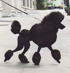 Gorgeous Standard Poodle groomed in the lovely traditional way ❤  -P.S. #dogs