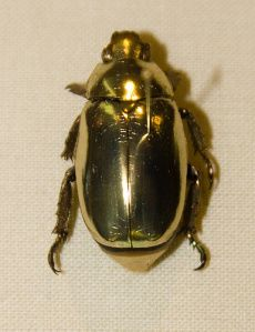 Golden Scarab Beetle (Chrysina resplendens) by thebefuddledloris: Light reflected from the beetle is circularly polarized (left handed)  due to the underlying structure of its chitinous cuticle. http://www.sciencedirect.com/science/article/pii/S0042698906000770 #Golden_Scarab_Beetle