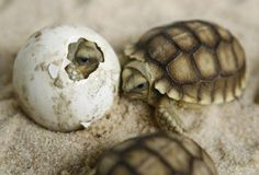 Baby sea turtles hatching More Visit our page here: http://what-do-animals-eat.com/turtles/  #turtles #turtle #petturtle #whatdoturtleseat