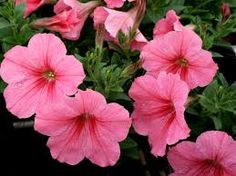 Image result for petunia