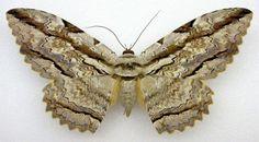 Owl Moth (Thysania zenobia)  http://www.texasento.net/Zenobia_Spm2.jpg