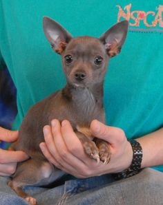 Pebbles is a tiny sweetheart debuting for adoption today at Nevada SPCA (www.nevadaspca.org).  She is a blue-grey Chihuahua, 2 years young, spayed girl, crate-trained, and good with other sweet dogs.  Pebbles lights up with enthusiasm when she sees a particular staff person who fawns over her and pampers her like a princess when he cleans her kennel and folds quilts down for her to lounge on.  Pebbles would love to find a nurturing person to call her own in a forever home. Chihuahua Dogs, Puppies, Crate Training, Call Her, Nevada, Animal Rescue, Crates, Blue Grey, French Bulldog